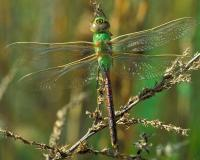 Common green darner dragonfly perched on a dried flowering stalk, viewed from above