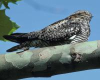 Photo of a common nighthawk on a sycamore branch.