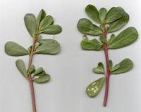 Two common purslane stems with leaves, pressed on a white background