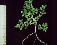 Common purslane plant, uprooted and photographed on black background