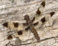 Female common whitetail dragonfly perched on a weathered wooden surface