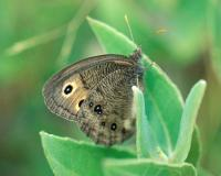 Photo of common wood nymph butterfly