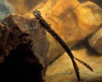 Photo of a dragonfly nymph, clinging to a rock in an aquarium.