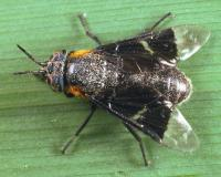 Photo of a female deer fly, probably Chrysops cincticornis nigropterus, on a leaf.