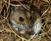 Photo of a deer mouse showing front view of face