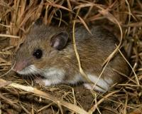 Photo of a deer mouse crouching on the ground amid dry grasses