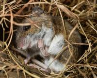 Photo of a deer mouse in its nest of dried grasses, using its hind foot to scratch its jaw