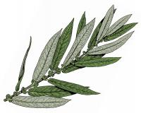 Illustration of diamond or Missouri willow leaves and stem.