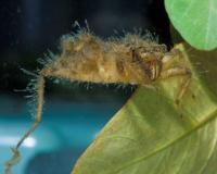 Photo of a dragonfly larva, three-quarter view.