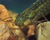 Photo of a dragonfly larva, possibly a green darner, closeup on head.