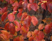 Flowering dogwood branches showing fall color