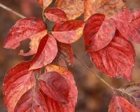 Closeup of flowering dogwood leaves in fall color