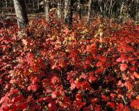 Fragrant sumac colony showing brilliant fall color