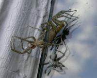 Photo of a grass spider molting near a window frame.