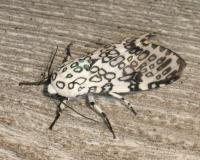 Photo of a giant leopard moth resting on a weathered wooden board