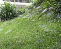 Photo of suburban lawn with several funnel webs