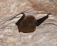 Photo of a gray bat clinging to a cave ceiling.