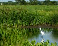 Photo of a great egret amid cattails in a wetland