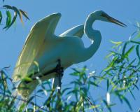 Photo of a great egret on a tree branch