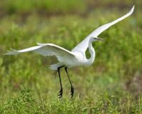 Photo of a great egret taking flight.