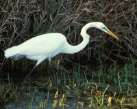 Photo of a great egret wading in a marsh