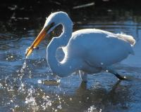 Photo of a great egret catching a fish