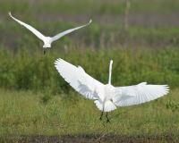 Photo of two great egrets in flight, seen from rear
