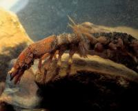 Photo of a hellgrammite crawling among rocks in an aquarium.