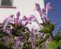 Photo of henbit flowers