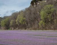 Photo of henbit covering a fallow field with bluffs in background