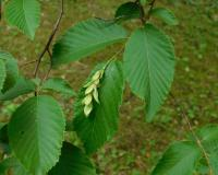 Photo of hop hornbeam showing leaves and developing fruit cluster