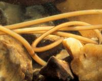 Photo of a horsehair worm, cropped to show smooth texture of cuticle.