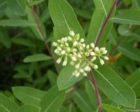 Photo of Indian hemp, or dogbane, flowers