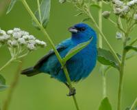 Photo of a male indigo bunting perched on a bloooming American feverfew plant.