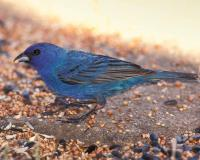 Photo of a male indigo bunting eating birdseed at a feeding station.
