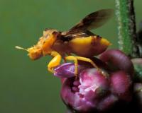 Golden yellow jagged ambush bug on unopened rough blazing star flowerhead, wings extended