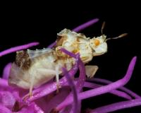 Whitish jagged ambush bug on liatris
