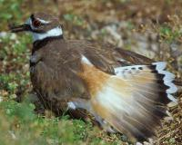 Photo of a killdeer flashing bright orange tail feathers.