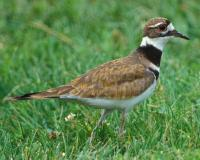 Photo of a killdeer walking on a grassy lawn.