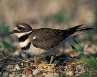 Photo of a killdeer standing over its nest.