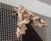 Lettered sphinx moth resting on a window screen
