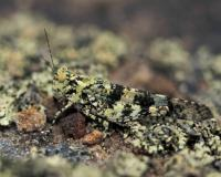 Greenish lichen grasshopper perched on a lichen-covered rock