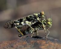 Pair of lichen grasshoppers mating