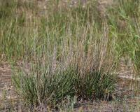 Photo of a little bluestem clump, mid summer, with old culms still standing