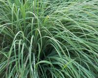 Photo of a clump of little bluestem, bluish green in mid summer