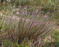Photo of a little bluestem clump flowering in late summer