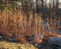 Photo of a little bluestem colony with copper-colored foliage in autumn