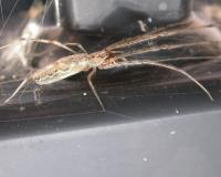 Photo of a longjawed orbweaver