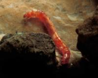 Photo of a midge fly larva crawling on a rock in an aquarium