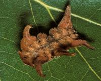 Photo of a monkey slug caterpillar on an oak leaf